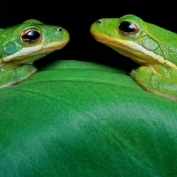 Jigsaw puzzle: Green tree frogs