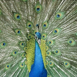 Jigsaw puzzle: Peacock