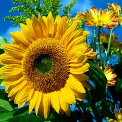 Jigsaw puzzle: Sunflower