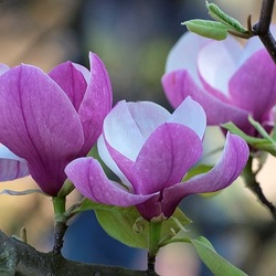 Jigsaw puzzle: Magnolia lily