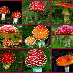 Jigsaw puzzle: Fly agarics