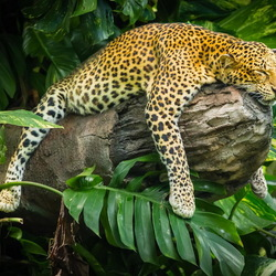 Jigsaw puzzle: Leopard resting