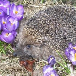 Jigsaw puzzle: Hedgehog in spring