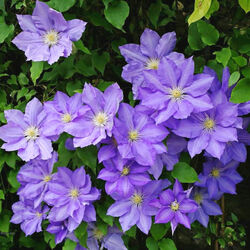 Jigsaw puzzle: Blue clematis