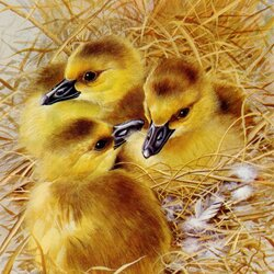 Jigsaw puzzle: Ducklings