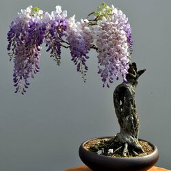 Jigsaw puzzle: Bonsai