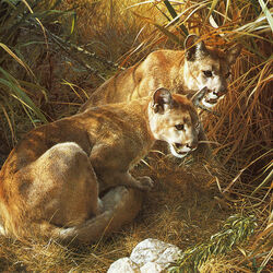 Jigsaw puzzle: Cougars