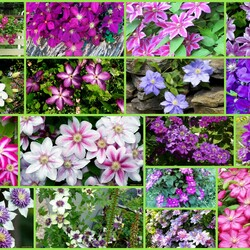 Jigsaw puzzle: Clematis