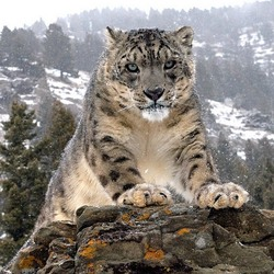 Jigsaw puzzle: Snow leopard or irbis