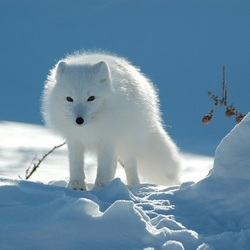 Jigsaw puzzle: Arctic fox from the tundra