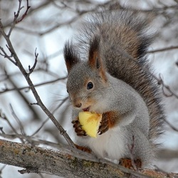 Jigsaw puzzle: Squirrel with apple