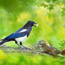 Jigsaw puzzle: Magpie and squirrel