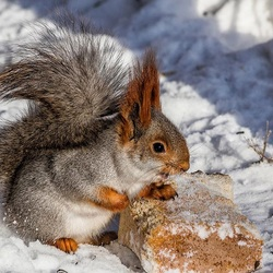 Jigsaw puzzle: Squirrel in a winter coat