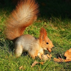 Jigsaw puzzle: Squirrel with acorn