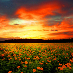 Jigsaw puzzle: Sunset over a flower field