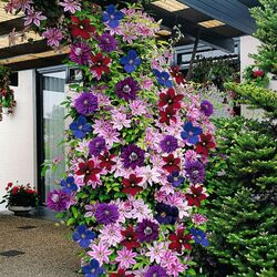 Jigsaw puzzle: Beautiful clematis