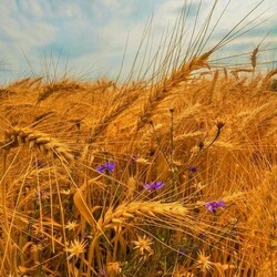 Jigsaw puzzle: Spikelets and cornflowers