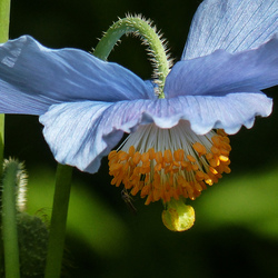 Jigsaw puzzle: Meconopsis