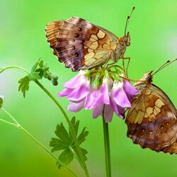 Jigsaw puzzle: Butterflies on aquilegia