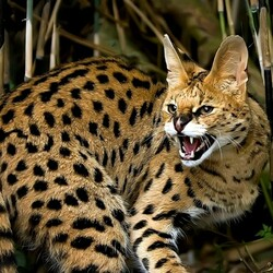 Jigsaw puzzle: Serval