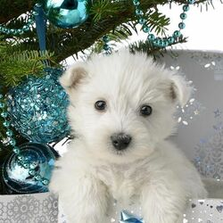 Jigsaw puzzle: White puppy