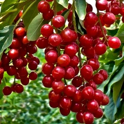 Jigsaw puzzle: Red bird cherry