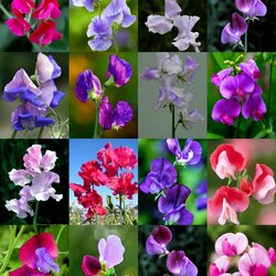 Jigsaw puzzle: This sweet pea