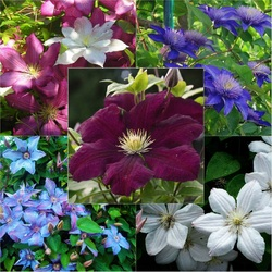 Jigsaw puzzle: Clematis in the garden