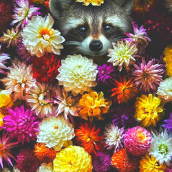 Jigsaw puzzle: Raccoon in dahlias