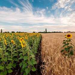 Jigsaw puzzle: Proud sunflower