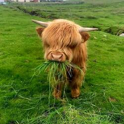 Jigsaw puzzle: Little scottish cow