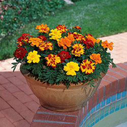 Jigsaw puzzle: Marigolds in the garden