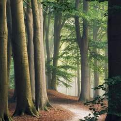Jigsaw puzzle: Dawn in the beech forest