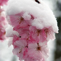 Jigsaw puzzle: Sakura in the snow