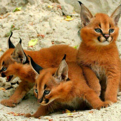 Jigsaw puzzle: Caracals