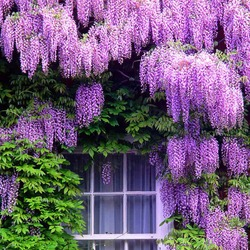 Jigsaw puzzle: Wisteria at home