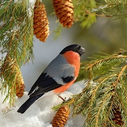 Jigsaw puzzle: About bullfinches