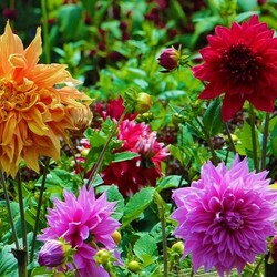 Jigsaw puzzle: Dahlias in the garden