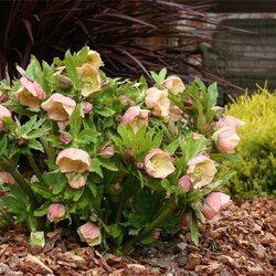Jigsaw puzzle: The hellebore bloomed