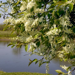 Jigsaw puzzle: White bird cherry