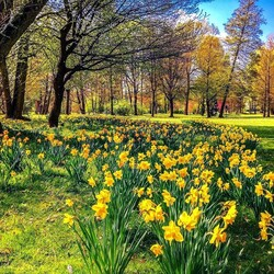 Jigsaw puzzle: Daffodils in the park