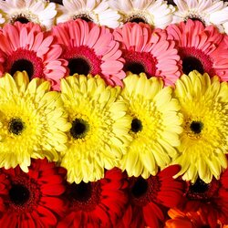 Jigsaw puzzle: Rows of gerberas