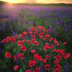 Jigsaw puzzle: Poppies at sunset