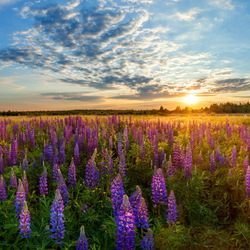 Jigsaw puzzle: Lupine field