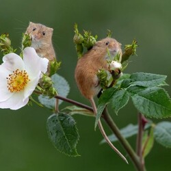 Jigsaw puzzle: Mice and rose hips
