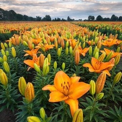 Jigsaw puzzle: Lily field