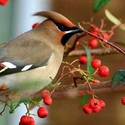 Jigsaw puzzle: Waxwing