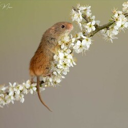 Jigsaw puzzle: Mouse in hawthorn blossom