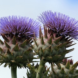 Jigsaw puzzle: Thistle