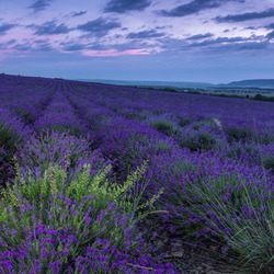 Jigsaw puzzle: Lavender fields